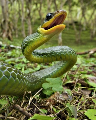 Green Tropical Rainforest Snake : facts about canopy - memphite.com