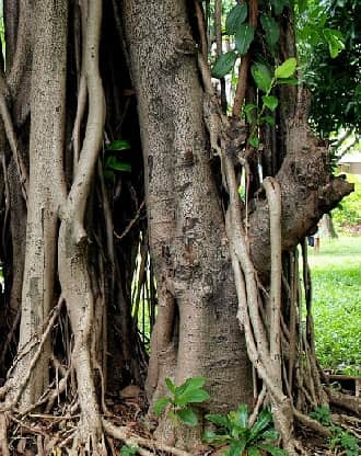 Rubber Tree Plant Facts