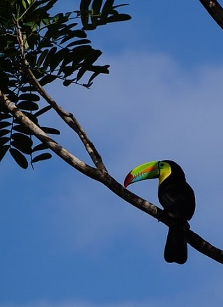 Toucans in Rainforest Emergent Layer